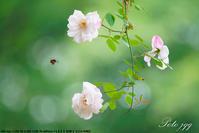 井頭公園の薔薇その2・・・ - ぶらりカメラウォッチ・・