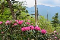 石楠花の咲く山阿弥陀ヶ森~大普賢岳 - 峰さんの山あるき