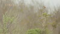 アカモズ - 北の野鳥たち