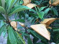 ビワの摘果と袋かけ - 岡山の米作り名人