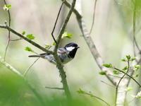 繁みの中のヒガラ - コーヒー党の野鳥と自然 パート2