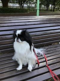 夏散歩は歩きやすい。 - 白黒きんぎょの3狆ごよみ