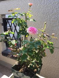留守番のバラたちと母たち世代のタオル事情 - はまあやのくらし