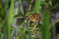 ヒメヒカゲ今季も健在 - 超蝶