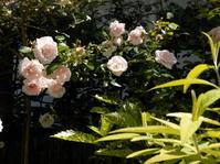 ローメンテナンスのバラ、ニュードーン - 百寿者と一緒の暮らし
