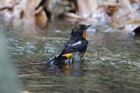 やっと近所でもカルガモ親子 - 野鳥写真日記 自分用アーカイブズ