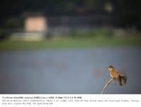 印旛沼北部調整池 2017.5.28(2) - 鳥撮り遊び