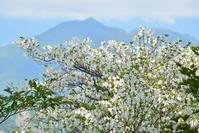 シロヤシオの咲く尾根千里峰~池小屋山 - 峰さんの山あるき