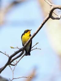 戸隠のキビタキ - コーヒー党の野鳥と自然 パート2