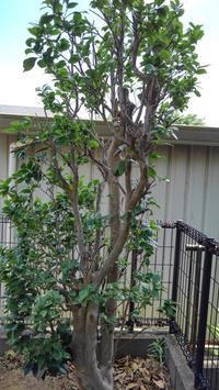 椿の剪定 - うちの庭の備忘録 green's garden