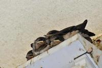 ツバメの巣 - じいじとばあばのフォトライフ