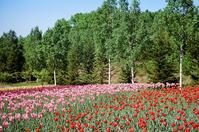 滝野スズラン公園のチュ-リップと日ハム中田翔選手 - 照片画廊
