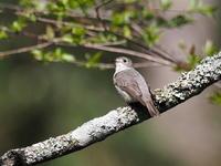コサメビタキが輝いてます - コーヒー党の野鳥と自然 パート2