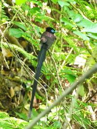 二子山のサンコウチョウ - コーヒー党の野鳥と自然 パート2