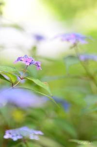藍姫 - 今日の小さなシアワセ