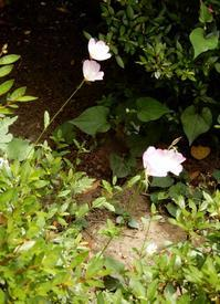 今年も咲いた「昼咲き月見草」 - 【出逢いの花々】