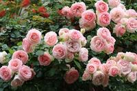 my.garden - バラの花