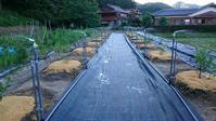 ブルーベリー散水用スプリンクラーの設置 - 初めてのブルーベリー栽培記
