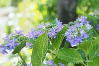 紫陽花 - 長い木の橋
