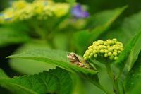 紫陽花とカエルのコラボレーション/あじさい寺神宮寺にて - なんでもブログ
