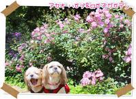 2017年5月28日アカオハーブ&ローズガーデン - 週末は、愛犬モモと永吉とお出かけ!Kimi's Eye