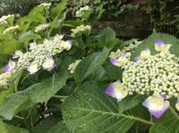 紫陽花が美しい季節「FUKUKOTOの8種の紫陽花、もう少しです。」編 - ドライフラワーギャラリー⁂ふくことカフェ
