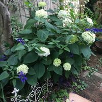 すてきなあじさいアナベル育て方 - Mayumin's rose garden&table 小さな秘密の花園で