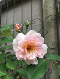 フェリシア - 小さな秘密の花園で Mayumin's rose garden&table