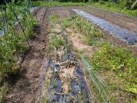玉ねぎ・ニンニクを収穫しました。 - チドルばぁばの家庭菜園日誌パート2