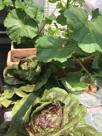 メロン、きゅうり、大葉、トレビス - 3F garden(屋根付屋外水耕)