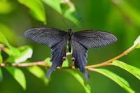 アザミに集う蝶オナガアゲハのオスByヒナ - 仲良し夫婦DE生き物ブログ