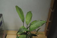 "Schismatoglottis petradoxa ""Batang Lemanak"" - PlantsCade -2nd effort"