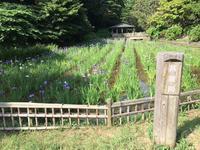 生田緑地。菖蒲と休憩 - ミニチュアブルテリアダージと一緒2