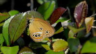 梅雨の晴れ間 - 紀州里山の蝶たち