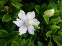 クチナシ - だんご虫の花