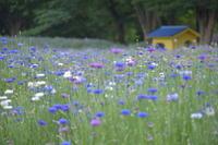 昭和記念公園のお花畑♪ - 今日もカメラを手に・・・♪