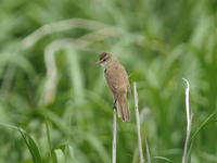 葦原に遊ぶオオヨシキリ - コーヒー党の野鳥と自然 パート2