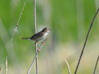 草原のセッカ - コーヒー党の野鳥と自然 パート2