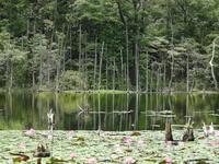 なんちゃって大正池の睡蓮 - 光°写真's