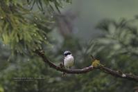 緑濃い山村の鳥たち02 - healing-bird
