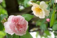 5月16日花の面積が増えてきたバラの庭 - Reon with LR & Roses