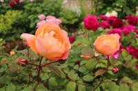 レディエマハミルトンの色 - my small garden~sugar plum~