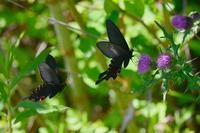アザミに集う蝶オナガアゲハの求愛Byヒナ - 仲良し夫婦DE生き物ブログ