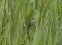 2107 オオセッカ今シーズン初見初撮りする事が出来ました。 - 私の鳥撮り散歩