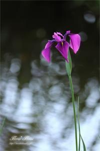 菖蒲 - Flores*Flores