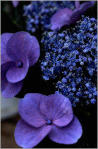 紫陽花 - 写瞬間