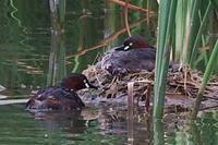 ★バンの雛が生まれました!・・・先週末の鳥類園(2017.6.10~11) - 葛西臨海公園・鳥類園Ⅱ