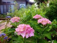 庭のアジサイ - だんご虫の花