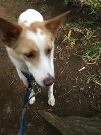 朝んぽ - 琉球犬mix白トゥラーのピカ