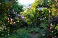 5月19日②日の出後のバラの庭 - Reon with LR & Roses